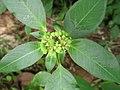Mexican fireplant (Euphorbia heterophylla) flower 1.jpg