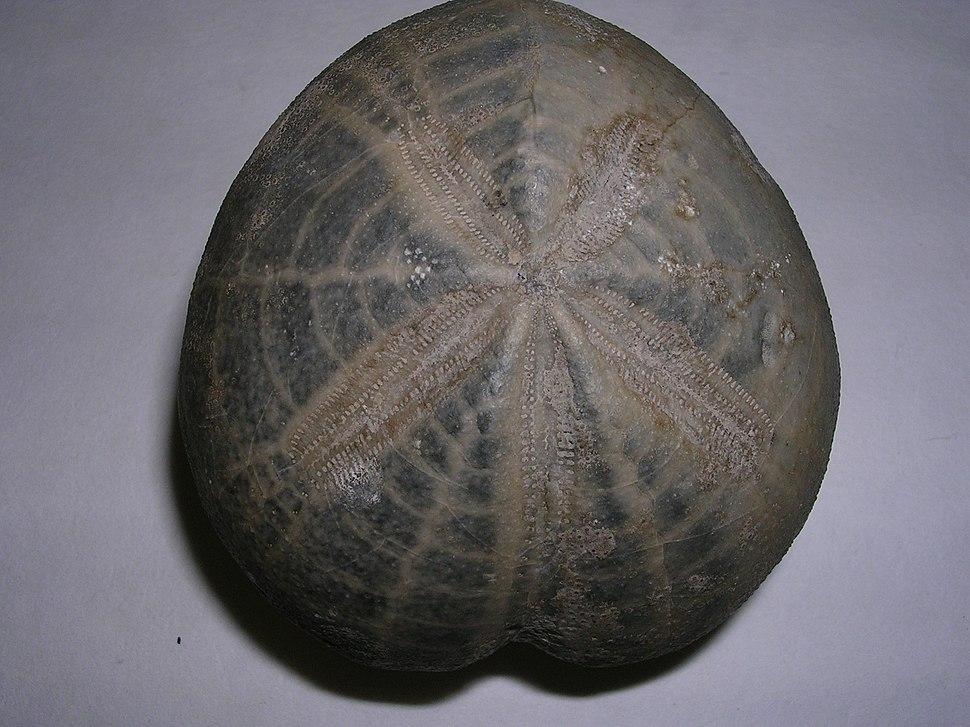Micraster coranguinum.4 - Cretacico superior