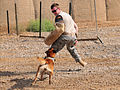 Military working dogs train for the mission DVIDS427407.jpg