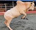Mirkadim bull jumping in a Dhaka cattle farm.jpg