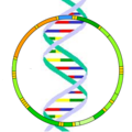 Mitochondrial DNA.png