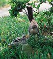 Mockingbird Feeding Chick022.jpg