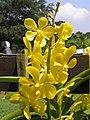 Mokara Chao Praya Gold -新加坡 Mandai Orchid Gardens, Singapore- (9213294163).jpg