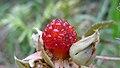 Molucca Bramble fruit (15932048149).jpg