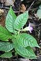 Monopyle macrocarpa (Gesneriaceae) (45909957522).jpg