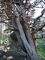 Monterey cypress and algae.jpg