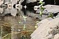 More Wild Budgies (Kings Canyon (Watarrka National Park)).jpg