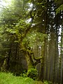 Moss covered Ash amidst the softwoods and mist - geograph.org.uk - 1416217.jpg