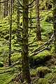 Moss covered spruce - panoramio.jpg