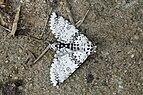 Moth (Cerurinae) 7746.jpg