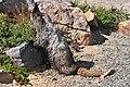 Mount Rainier - September 2017 - Hoary marmots 08.jpg