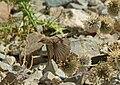 Mountain Chiffchaff (Phylloscopus sindianus) (15717063119).jpg