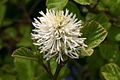 Mountain Witch Alder (Fothergilla major) Shrub In Flower Hampshire UK.jpg