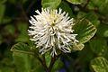 Mountain Witch Alder (Fothergilla major) Shrub In Flower Hampshire UK.jpg