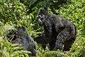 Mountain gorilla (Gorilla beringei beringei) 07.jpg