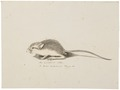 Mus americanus - 1700-1880 - Print - Iconographia Zoologica - Special Collections University of Amsterdam - UBA01 IZ20500111.tif