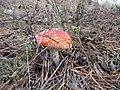 Mushroom - panoramio (3).jpg