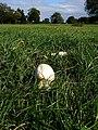 Mushroom growing on Durdham Downs - geograph.org.uk - 252827.jpg