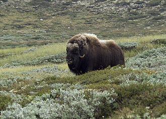 Arctic - Muskox