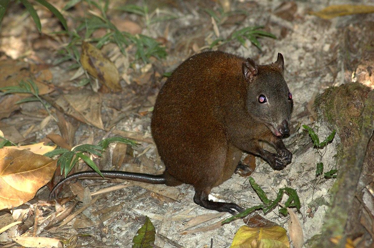 What is the habitat of a kangaroo?