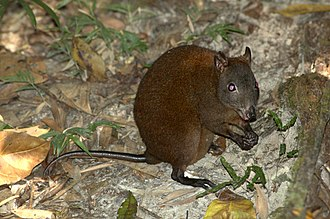 Wet Tropics of Queensland - The musky rat-kangaroo is a marsupial species only found in the Wet Topics ecoregion.