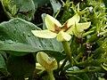 Mussaenda arcuata, blom, Manie van der Schijff BT.jpg