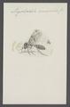 Mycetophila - Print - Iconographia Zoologica - Special Collections University of Amsterdam - UBAINV0274 038 04 0006.tif