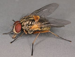 <i>Mydaea corni</i> species of insect