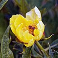Myddelton House garden, Enfield, London, England - yellow peony 02.jpg