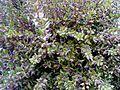 Myrtus communis Autumm DehesaBoyalPuertollano.jpg