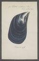 Mytilus violaceus - - Print - Iconographia Zoologica - Special Collections University of Amsterdam - UBAINV0274 076 01 0015.tif