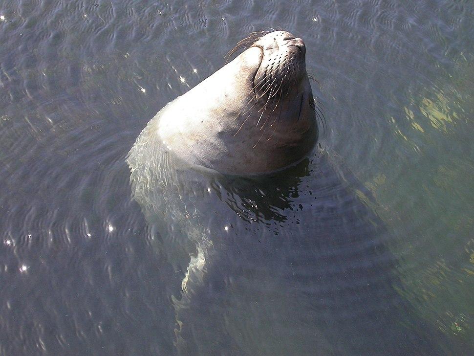 N elephant seal resting