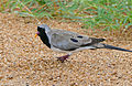 Namaqua Dove (Oena capensis) male (17145952109).jpg