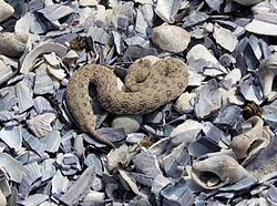 Namaqua dwarf adder, Namaqualand, Northern Cape, South Africa.JPG