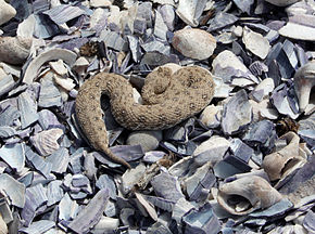 Description de l'image Namaqua dwarf adder, Namaqualand, Northern Cape, South Africa.JPG.