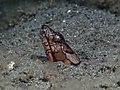 Napoleon snake eel (Ophichthus bonaparti) (32068740670).jpg