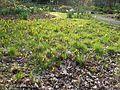 Narcissus cyclamineus - Flickr - peganum.jpg