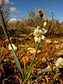 Narcissus tortifolius629.jpg