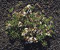 Nassauvia aculeata 1.jpg
