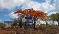 Natur - Flametree vid Lake Manyara flygplats.jpg
