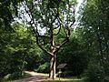 Naturdenkmal Jägereiche X5H.jpg