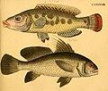 Naturgeschichte in Bildern mit erläuterndem Text (Taf. XCVIII) (6058674851).jpg