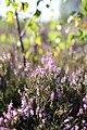 Naturschutzgebiet Syrau-Kauschwitzer Heide 11.jpg