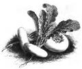 Navet blanc plat hâtif à feuille entière Vilmorin-Andrieux 1883.png