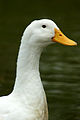 Neck of white duck..jpg