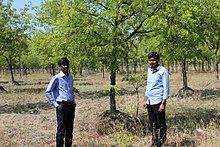 vepa tree in english