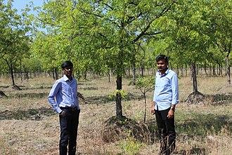 Azadirachta indica - Neem Tree farm from south india
