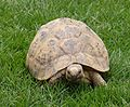 Negev Tortoise Luxor.JPG