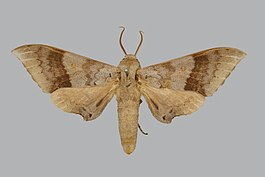 Neopolyptychus ancylus BMNHE270259 male up.jpg