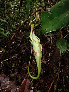 <i>Nepenthes hemsleyana</i> species of plant